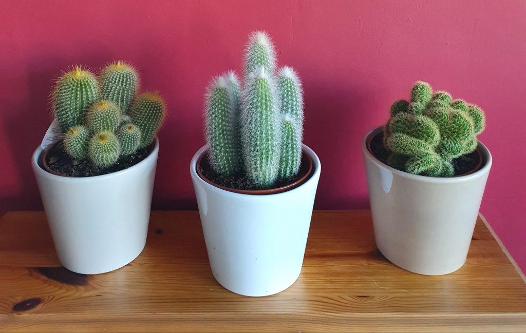 3 cacti in white pots